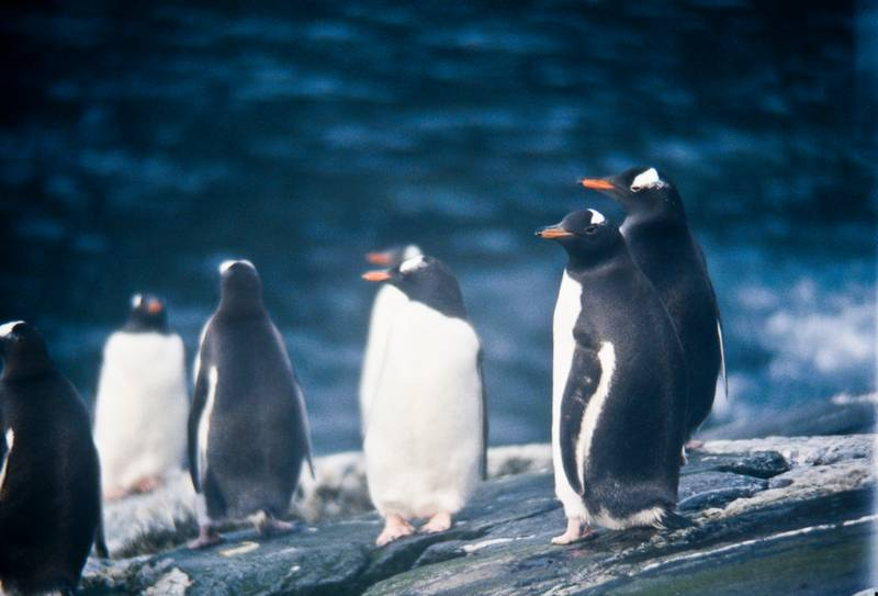 Pingüinos de corona blanca